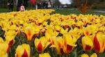 23 Keukenhof tulipani