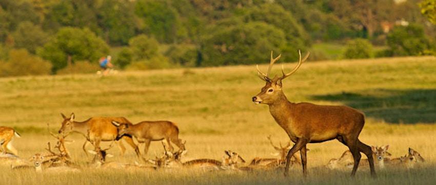 Richmond Park: Il parco di Londra con cervi e daini